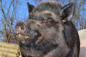 boar-284685_960_720[1]